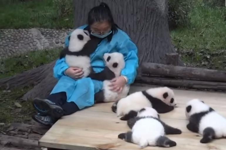 Une nounou pour pandas en Chine