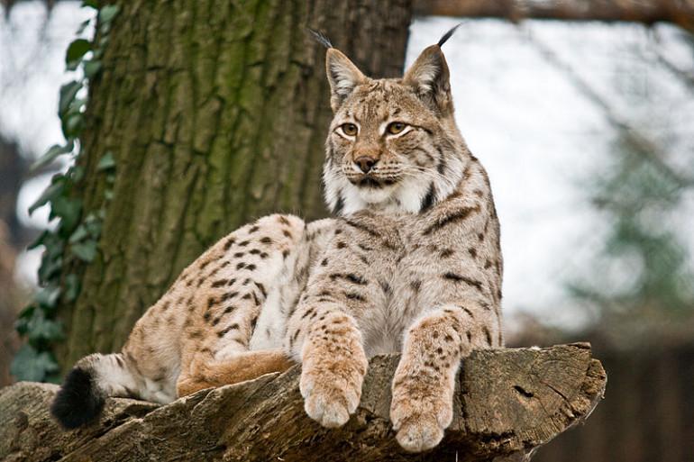 Mort du lynx dans le Haut-Rhin : 2.000 euros de récompense pour toute information.