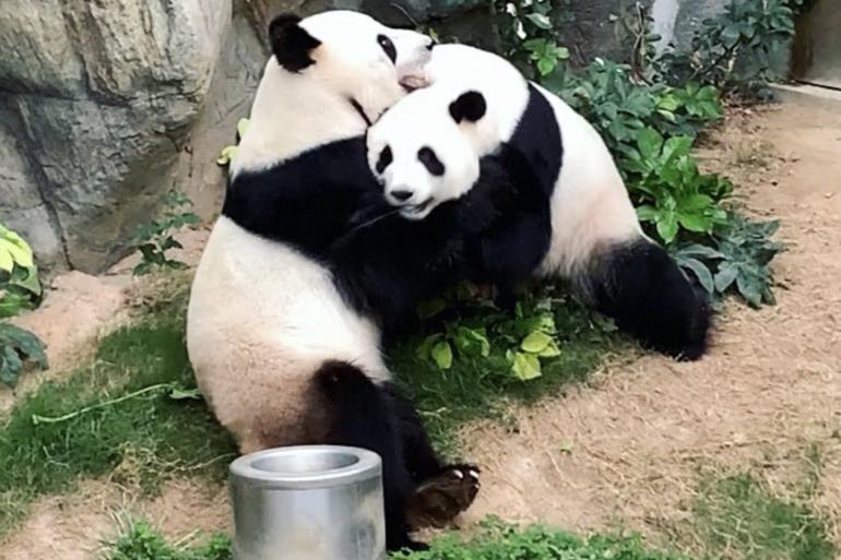 Yin Yin et Le Le ont profité de l'intimité du confinement pour s'accoupler.