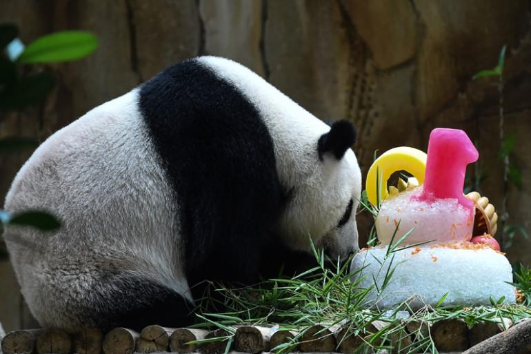 Un panda géant et son bébé fêtent leurs anniversaires
