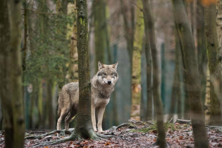 """""""Cette observation en Seine-Maritime ne permet pas d'affirmer que le loup s'installe dans le département"""", précise la préfecture (photo d'illustration)."""