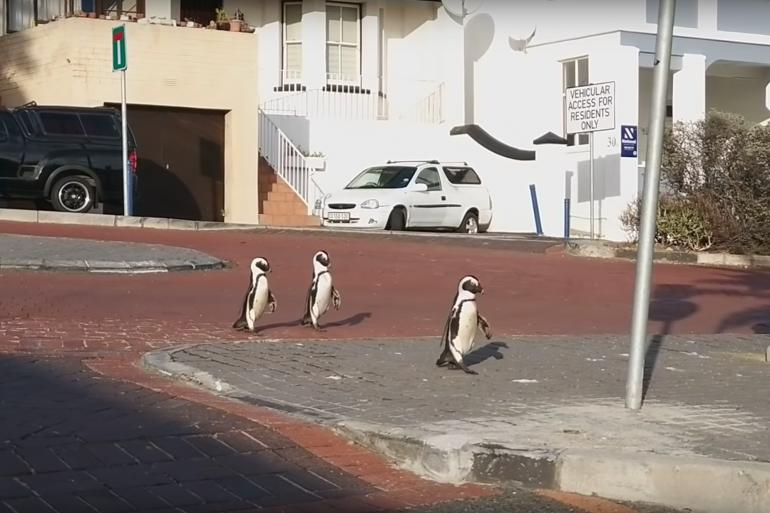 Des manchots en pleine rue à Cape Town en Afrique du Sud