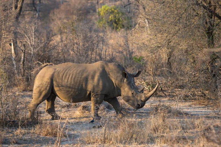 Un rhinocéros blanc au parc national Kruger en Afrique du Sud