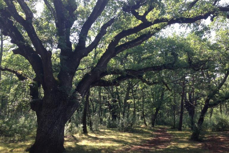La forêt de chênes centenaires de Callian (illustration)