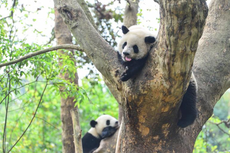Deux pandas (illustration)