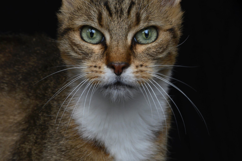 Pourquoi les chats ne retombent pas toujours sur leurs pattes...