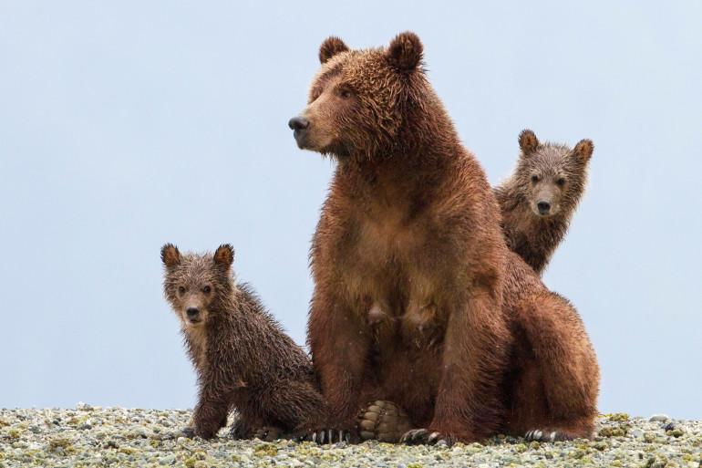 """""""Grizzly"""", un film sur les ours d'Alaska, documentaire Disneynature"""