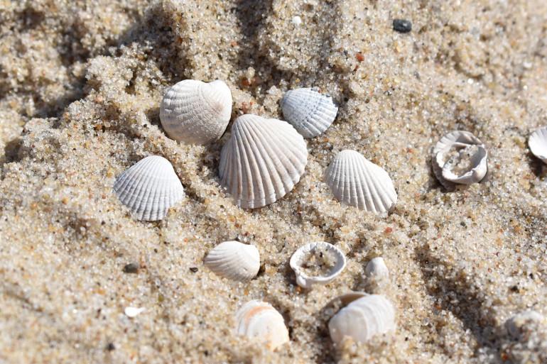 Des coquillages sur du sable fin (illustration).