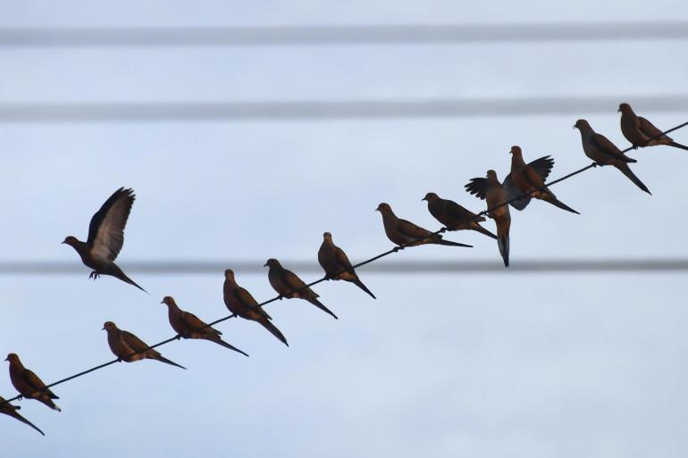 Des oiseaux sur un fil électrique (illustration)
