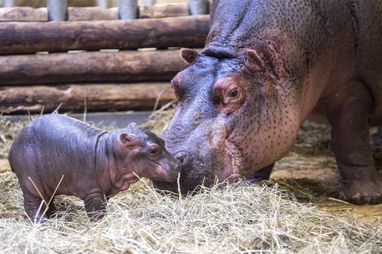 Les visiteurs du Zoo de Beauval peuvent désormais découvrir Gloria, le premier bébé hippopotame né au zoo.