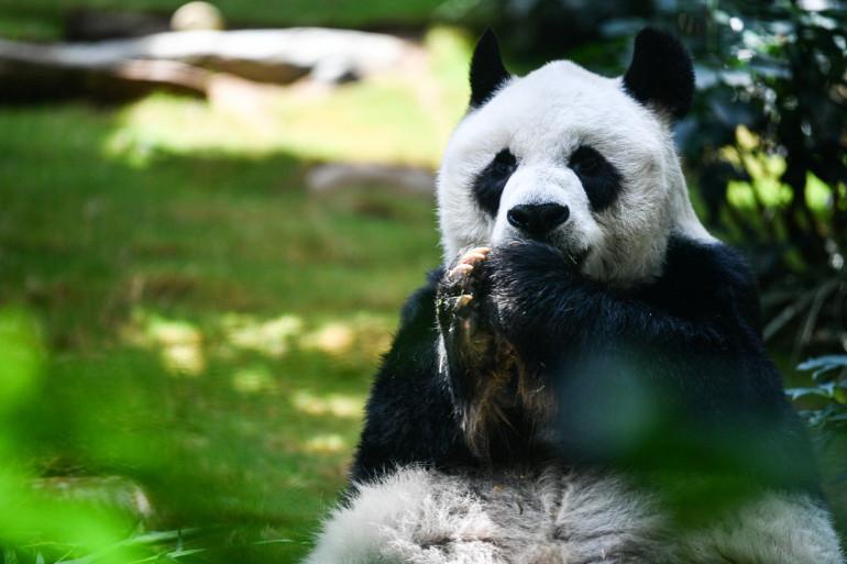 Un panda géant (illustration)