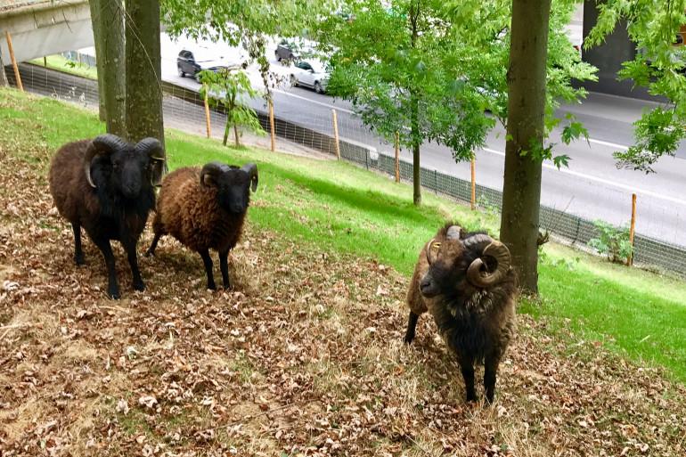 Des moutons au bord du périphérique parisien