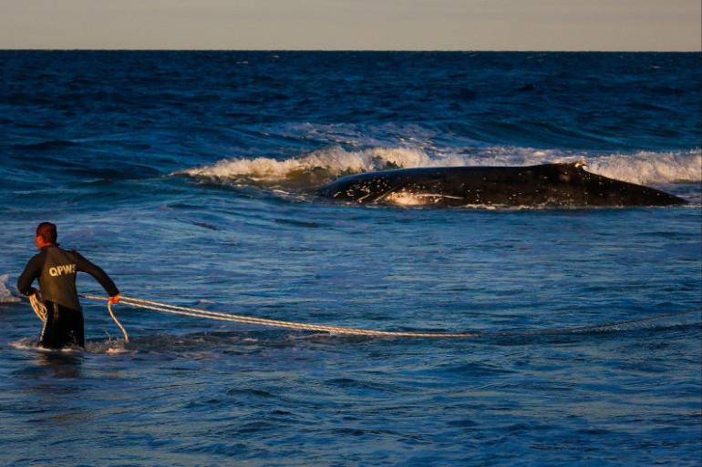 Une baleine à bosse au large d'une plage en Australie (illustration).