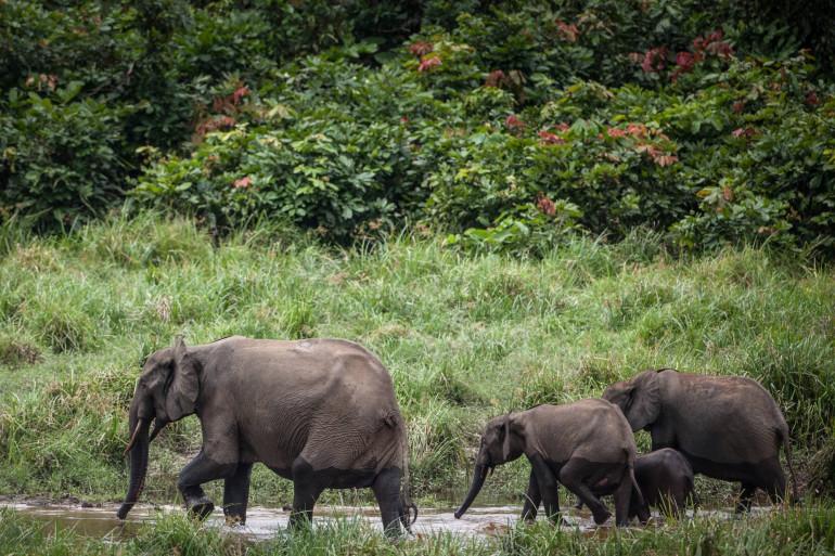 Des éléphants sauvages (illustration)