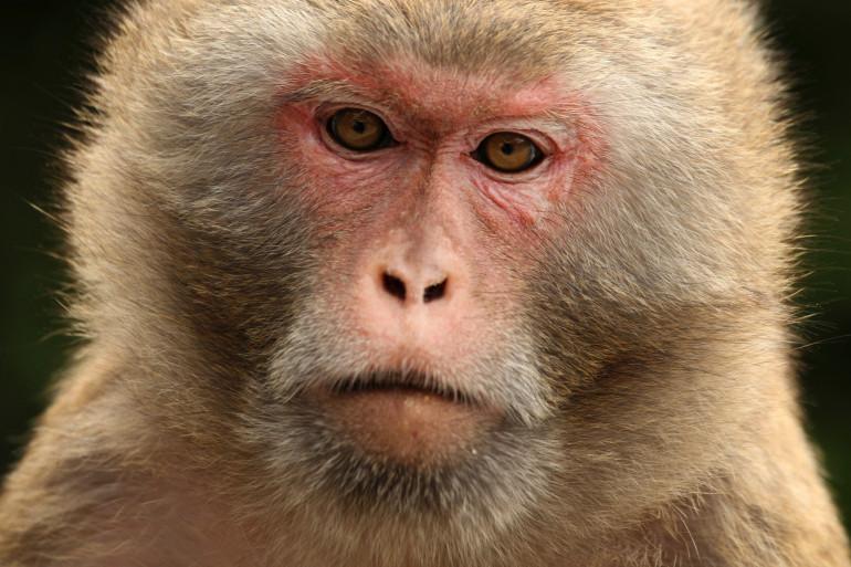 Une singe rhésus