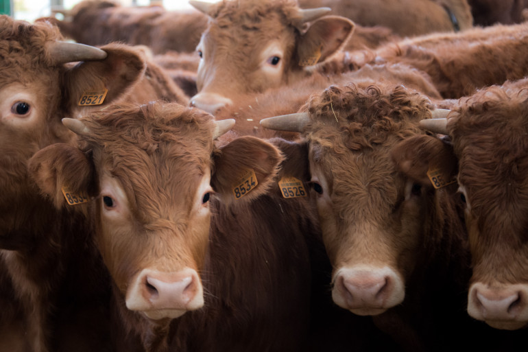 La vache limousine est l'une des plus anciennes races françaises
