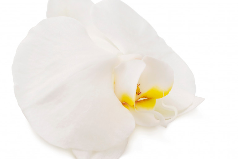 L'orchidée est une des allégories utilisées pour représenter le sexe féminin