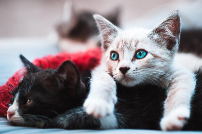 Deux jeunes chats (photo d'illustration).
