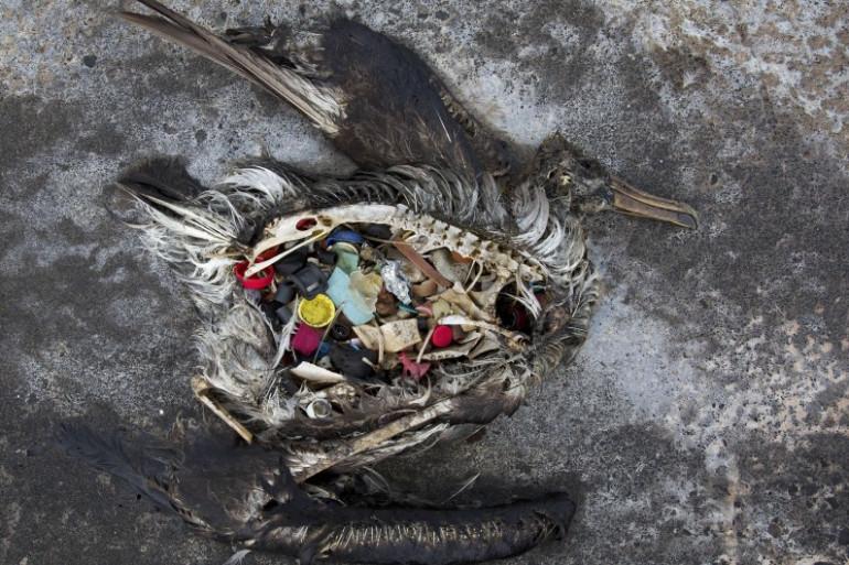 Un albatros retrouvé mort avec des déchets plastiques dans l'estomac