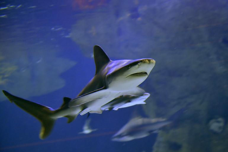 Un requin à l'Ocearium du Croisic