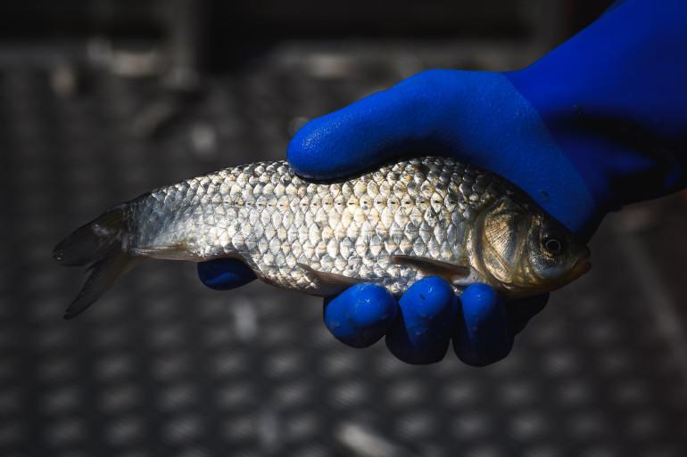 Un homme ramasse un poisson (illustration)