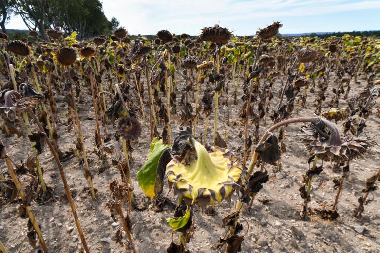 Un champ de tournesols frappé par la sécheresse, dans le Gard.