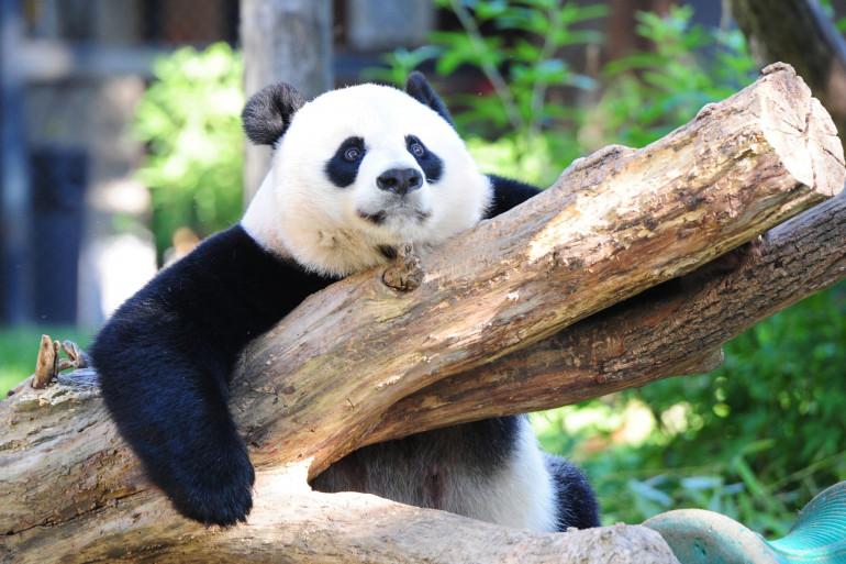 Mei Xiang, la femelle panda géante du zoo de Washington a donné naissance à un bébé