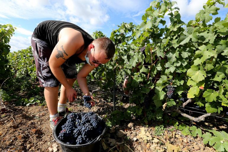Un saisonnier dans le vignoble d'Avenay-Val-d'Or, dans la Marne.