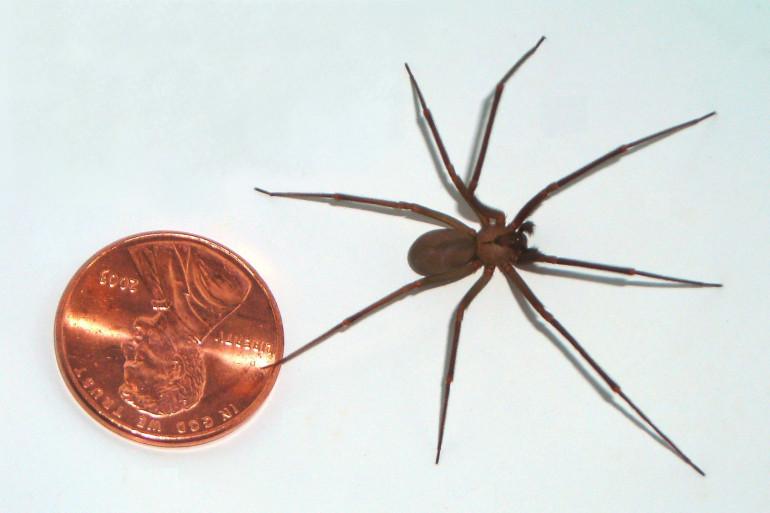 Une araignée recluse à côté d'une pièce d'un cent américain