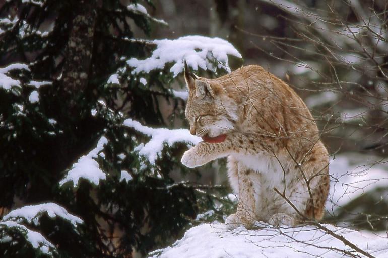 """Le lynx boréal est une espèce """"en danger"""" que l'on peut trouver dans les Vosges"""