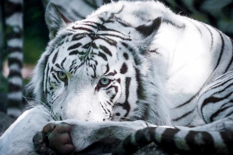 Le tigre blanc Sherkan est décédé à l'âge de 18 ans, au ZooParc de Beauval, le 9 septembre 2020.