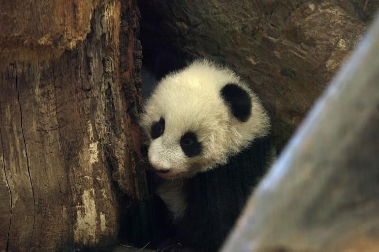 Première apparition des pandas jumeaux au zoo de Vienne en Autriche.