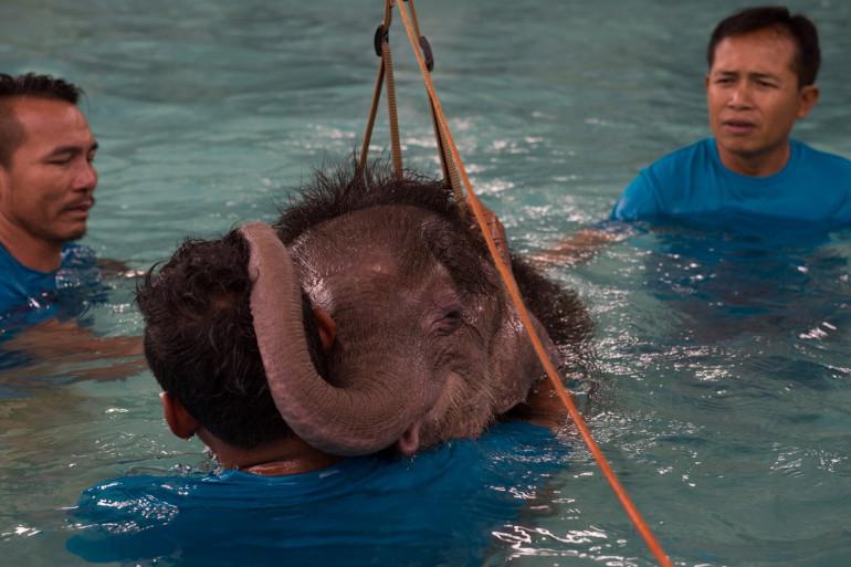 Cet éléphanteau âgé de 6 mois réapprend à marcher malgré sa patte amputée