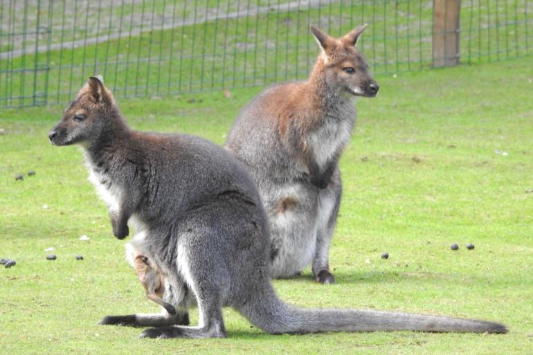 Deux wallabys ont perturbé le trafic TER en Vendée lundi 21 septembre