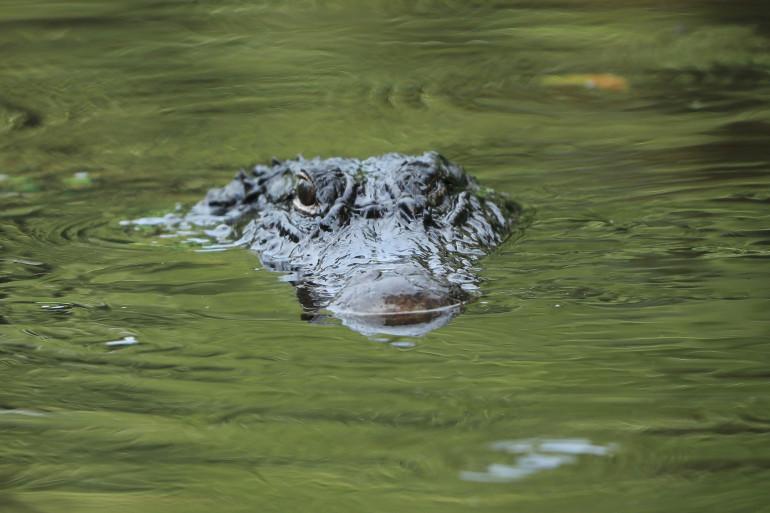 Un crocodile, sur l'île d'Hilton-Head, en Caroline du Sud (États-Unis).