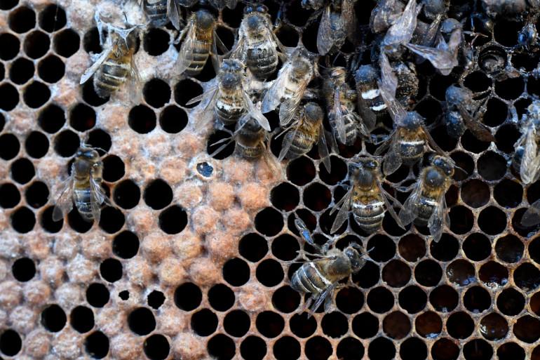 Des abeilles mortes exposées à Rennes pour montrer l'effet des néonicotinoïdes (illustration)