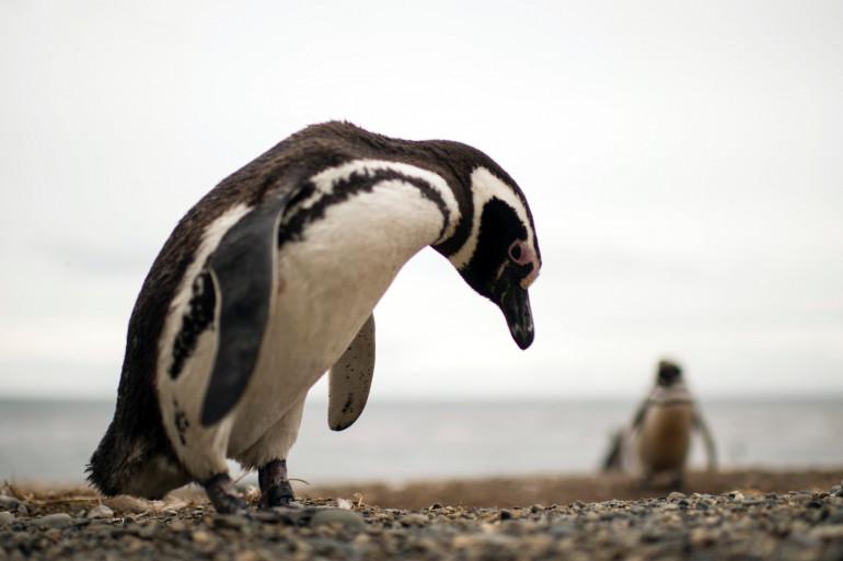 Un manchot de Magellan, sur une plage chilienne