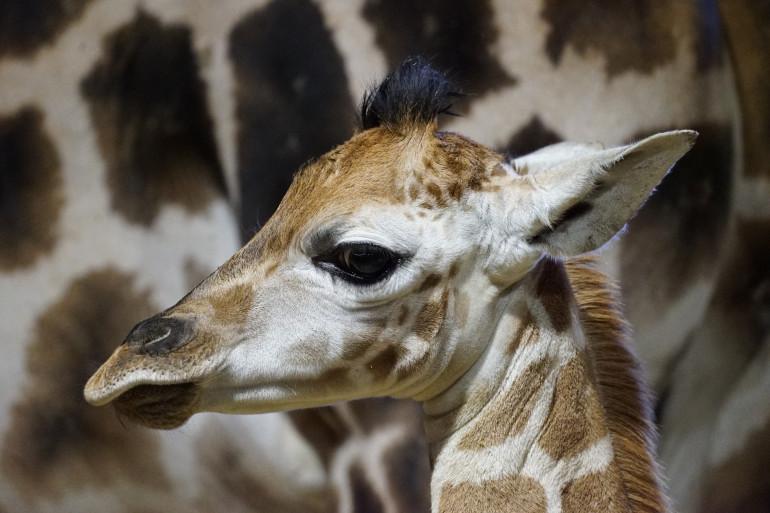 Un bébé girafe, appelé girafon