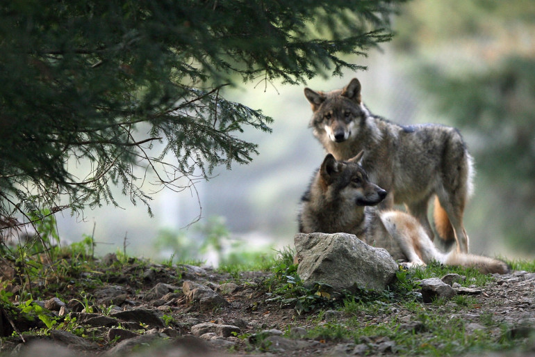 Des loups le 17 octobre 2006, dans les Alpes-Maritimes (illustration)