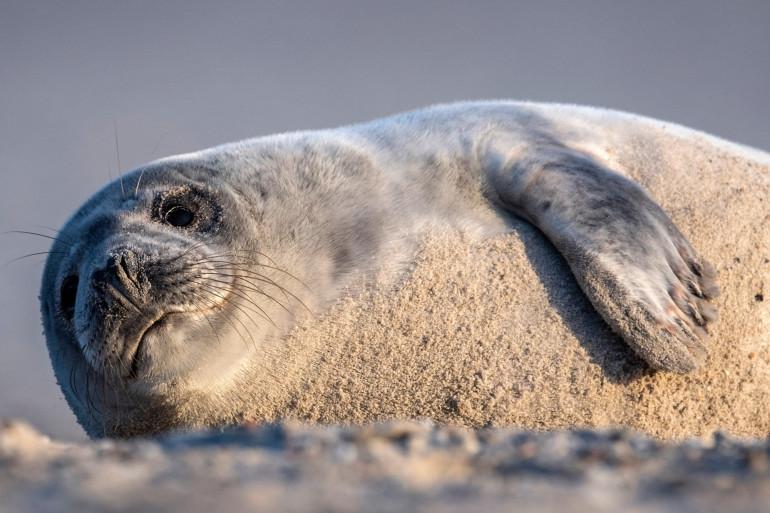 Un phoque gris, espèce quasi menacée d'extinction, en Allemagne