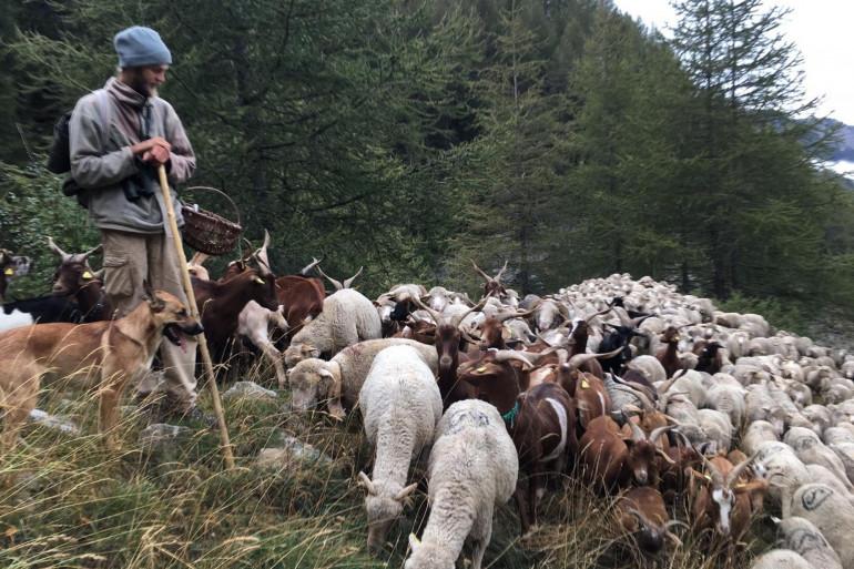 Un berger et son troupeau de brebis, dans les Alpes-de-Haute-Provence