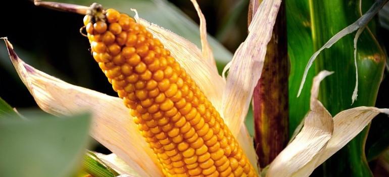 Un épi de maïs à Godewaersvelde dans le Nord, le 28 septembre 2012 (image d'illustration)