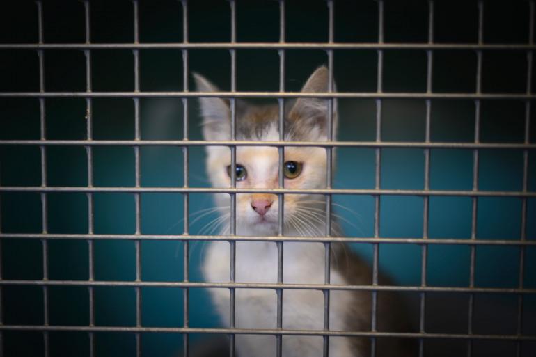Un chat de la SPA de Gennevilliers le 13 août 2019.
