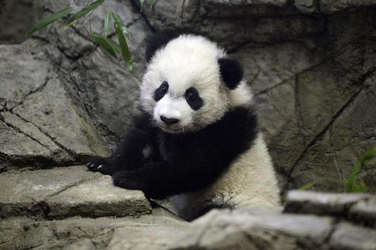 Le bébé panda géant Bei Bei est né le 22 août 2015 à Washington.