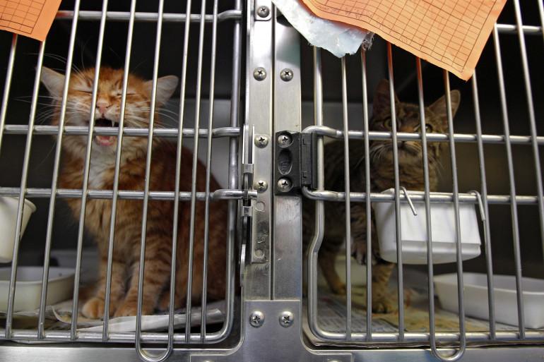 Des chats dans un refuge pour animaux à Roubaix le 31 octobre 2012. (illustration)