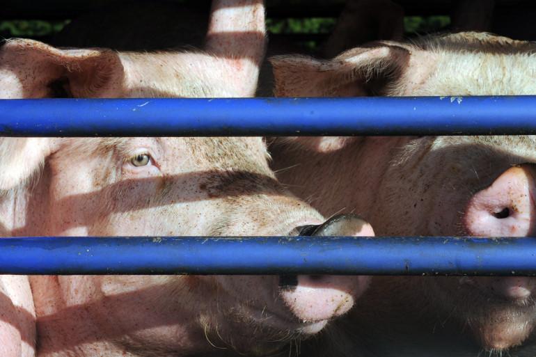 Des cochons, le 22 octobre 2013, dans l'ouest de la France. (illustration)