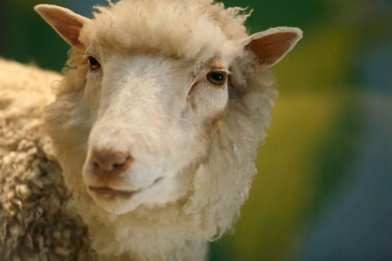 La brebis Dolly, le premier mammifère cloné de l'Histoire