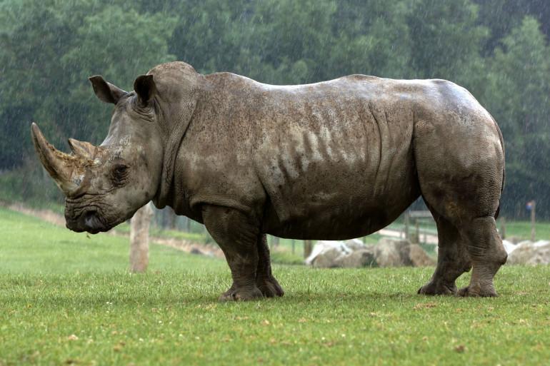 Un rhinocéros blanc, à deux cornes, photographié dans le parc zoologique du Cerza, en 2006, dans le Calvados