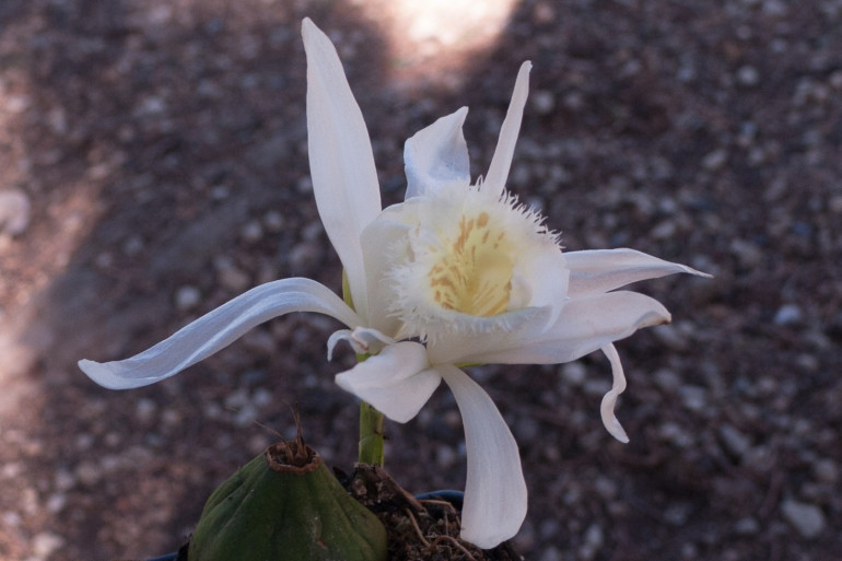 Une orchidée pleione
