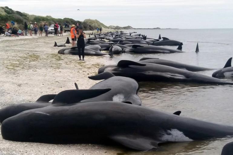 Des baleines échouées en Nouvelle-Zélande